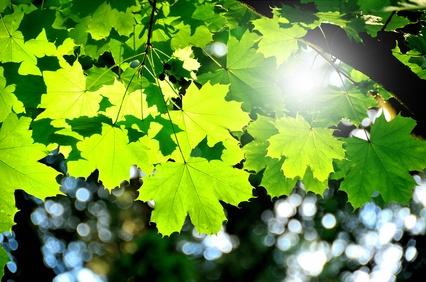 Ahornbaum für Massivholzmöbel