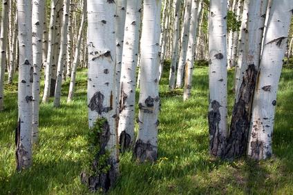 Birkenbaum für Massivholzmöbel