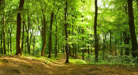Buchenbaum für Massivholzmöbel