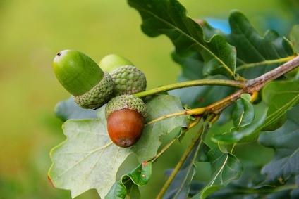 Eichenbaum für Massivholzmöbel