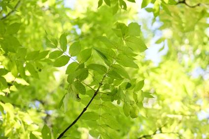 Eschenbaum für Massivholzmöbel