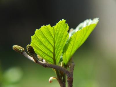 Erlenbaum für Massivholzmöbel
